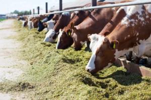 allevamento-bovini-vacche-mucche-by-romankorytov-fotolia-750
