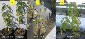 Alligator, il nuovo portinnesto delle drupacee resistente all'asfissia - Plantgest news sulle varietà di piante