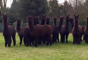 alpacas-toscana-by-montabu-bianchi-jpg