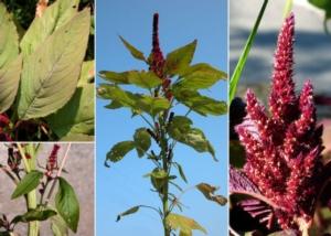 amaranto-primo-art-rosato-set-2020-fonte-andrea-moro-dip-scienze-della-vita-uni-trieste