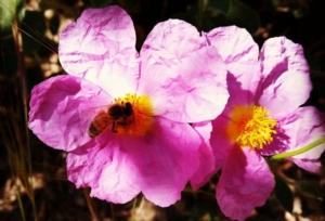 ape-api-fiore-by-matteo-giusti-agronotizie-jpg
