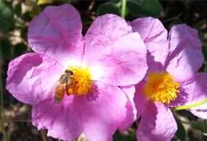 ape-api-fiore-by-matteo-giusti-agronotizie-jpg1