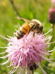 ape-api-fonte-morguefile-schick