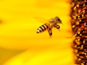 ape-api-girasole-fiore-by-boris-smokrovic-wikipedia-jpg