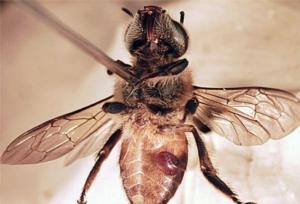 ape-collezione-varroa-by-natuur12-wikipedia-jpg