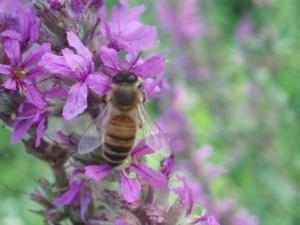 ape-fiore-apicoltura-by-matteo-giusti-agronotizie-jpg1