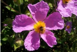 ape-fiore-cisto-by-matteo-giusti-agronotizie-jpg