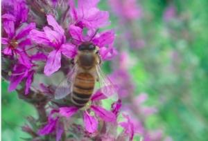 ape-fiore-impollinazione-by-matteo-giusti-agronotizie-jpg