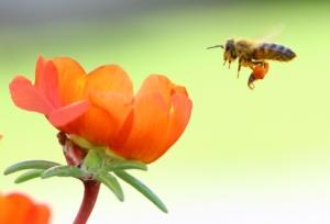 ape-fiori-apicoltura-api-by-mer-nl-wikimedia-jpg
