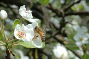 ape-pomacee-fonte-sumitomo