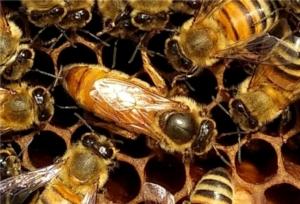 ape-regina-by-aiaar-jpg
