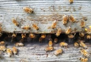 api-alveare-arnia-apicoltura-by-matteo-giusti-agronotizie-jpg