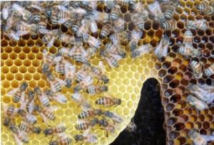 api-apicoltura-alveare-by-matteo-giusti-agronotizie-jpg
