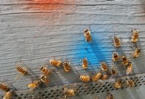 api-arnia-apicoltura-by-matteo-giusti-agronotizie-jpg