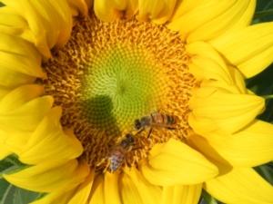 L'Italia ha sete di olio di girasole - Plantgest news sulle varietà di piante