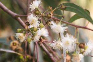 api-nettare-fiori-eucalipto-by-gromush-adobe-stock-750x500