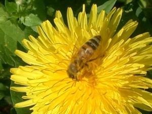 apis-mellifera-fiore-tarassaco-by-mario-colombo