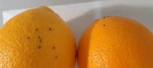 arance-colpite-da-phyllosticta-citricarpa-25-set-2020-regione-campania