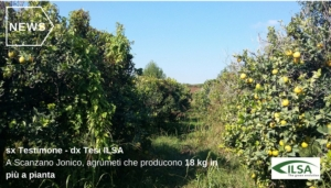 arance-scanzano-jonico-matera-testimone-fonte-ilsa