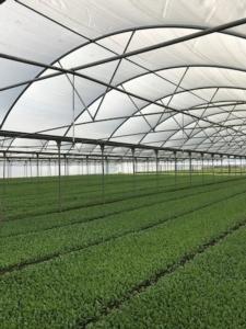 Insalate, miglior rendimento con lo schermo termo-riflettente di Arrigoni - Plantgest news sulle varietà di piante