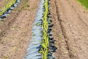 asparagi-campo-campi-asparago-by-pusteflower9024-fotolia-750