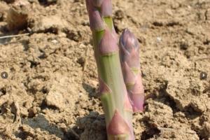 Asparago, il futuro passa dall'innovazione - Plantgest news sulle varietà di piante