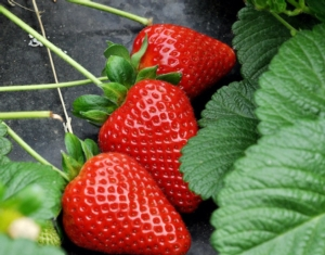 asso-fruit-italia-fragole-campo2