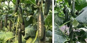 Audax F1, il cetriolo diventa attraente - Plantgest news sulle varietà di piante