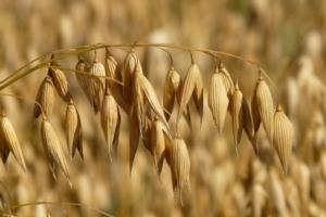 Avena sì o avena no, questo è il dilemma - Plantgest news sulle varietà di piante