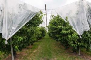 Ciliegio, tradizione e innovazione si incontrano a Vignola - Plantgest news sulle varietà di piante