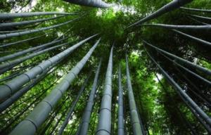 bambu-onlymoso