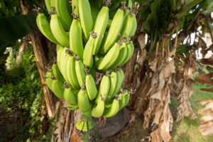 banane-in-martinica-by-mbruxelle-adobe-stock-750x499