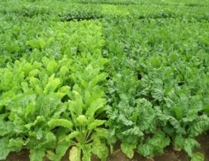 Barbabietola, lotta alla rizomania: migliori risultati con le varietà RZ2.0 - Plantgest news sulle varietà di piante