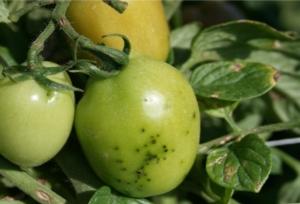 batteriosi-pomodoro-picchiettatura-batterica-by-chris-smart-nyseas-geneva-ny-wikipedia-jpg