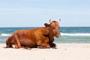 benessere-animale-bovini-bovino-spiaggia-mare-by-agphotographer-fotolia-750