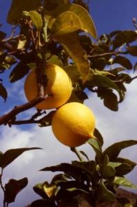 bergamotto-fonte-provincia-reggio-calabria