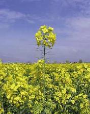 biocarburanti-colza