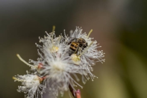 biodiversita-api-fonte-fao-20190304