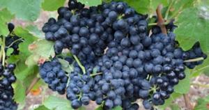 blue-grapes-thumb-uva-nera-redazionale-concimazione-vite-da-vino-maggio-2021-fonte-icl