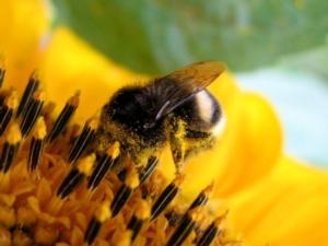 bombo-impollinatori-girasole-by-brzeszczot-wikipedia