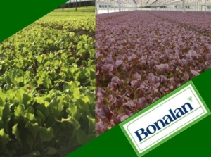 bonalan-baby-leaf-fonte-gowan