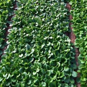 Valeriana Bonvita: una base da cui partire... - Plantgest news sulle varietà di piante