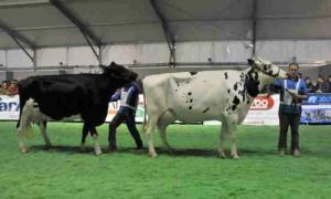 bovimac-mostra-bovina
