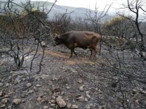 bovina-scampata-alle-fiamme-in-sito-incendiato25lug2021coldiretti-sardegna