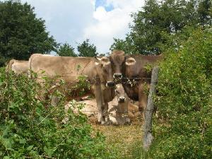bovine_brune_pascolo