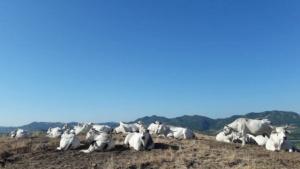 bovini-da-carne-razza-romagnola-apr-2020-fonte-anabic
