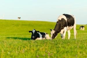 bovini-mucche-mucca-vitelli-agl-photoproductions-fotolia-750x500