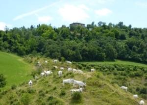 bovini-mucche-pascolo-montagna-fonte-angelo-gamberini-agronotizie