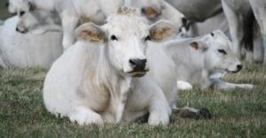 bovino-razza-romagnola-fonte-consorzio-tutela-vitellone-bianco-appennino-centrale