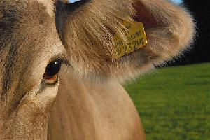bovino-vacca-benessere-animale
